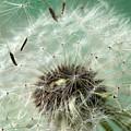 Dandelion Seeds On Flower Head by Donald Erickson