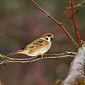 Eurasian Tree Sparrow by Jouko Lehto