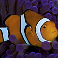 False Ocellaris Clownfish In Its Host by Terry Moore