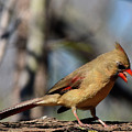 Female Cardinal by Dwight Eddington