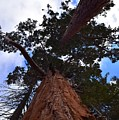 Giant Sequoia Trees by Will Sylwester