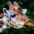 Giraffe by Paulette Thomas
