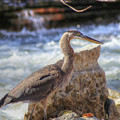 Great Blue Heron by Michael Munster