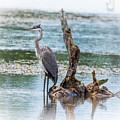 Great Blue Heron by Ronald Grogan