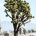 Joshua Tree by Gravityx9 Designs
