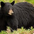 Maine Black Bear by Sharon Fiedler