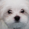 Maltese Puppy by Shaun Wilkinson
