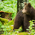 One Year Old Brown Bear In Slovenia by Ian Middleton