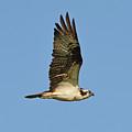 Osprey by Lindy Pollard