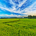 Paddy Rice Panorama by MotHaiBaPhoto Prints