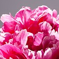 Peony Flower by FL collection