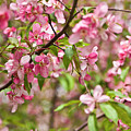 Pink Cherry Tree by Irina Afonskaya