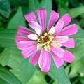 Pink Zinnia by Virginia Artho