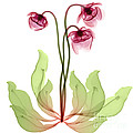 Pitcher Plant Flowers, X-ray by Ted Kinsman