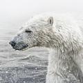 Polar Bear by Shaun Wilkinson