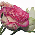 Three Flowers by Elvira Ladocki