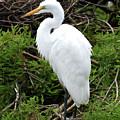 White Egret by Jim Lapp