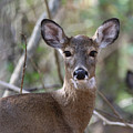 White Tailed Deer Smithtown New York by Bob Savage