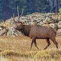 6 X 1 Loser Bull Elk by Ronald Lutz
