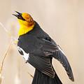 Yellow Headed Blackbird by Dennis Hammer