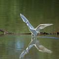 Snowy Egret by Tam Ryan
