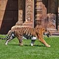 61- Sumatran Tiger by Joseph Keane