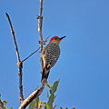 62- Red-bellied Woodpecker  by Joseph Keane