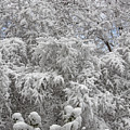 Snow And Branches by Robert Ullmann