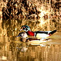 6980 - Wood Duck by Travis Truelove