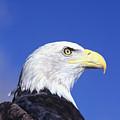 Bald Eagle by John Hyde - Printscapes