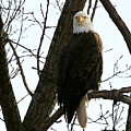 Bald Eagle by John Ohm