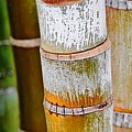 Bamboo Palm by Werner Lehmann