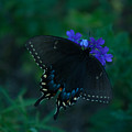 Black Swallowtail by Craig Hosterman