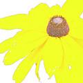 Blackeyed Susan Flower by A Gurmankin