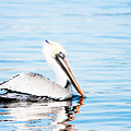 Brown Pelican by Michael McStamp