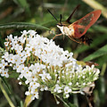 Clearwing Hummingbird Moth by Clifford Pugliese