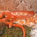Corn Snake by FL collection