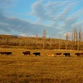 Cows by FL collection