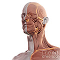 Facial Muscles by Science Picture Co