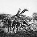 Giraffe by Granger