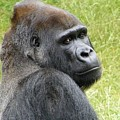 Gorilla by FL collection