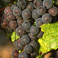 Grapes Growing On Vine by Bernard Jaubert