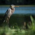 Great Blue Heron by Gunter Weber