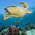 Green Sea Turtle by Dave Fleetham - Printscapes