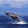 Humpback Whale Breaching by John Hyde - Printscapes