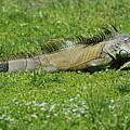 I Iguana by Rob Hans