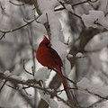 Male Cardinal by Craig Hosterman