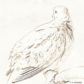 Mourning Dove, Animal Portrait by A Gurmankin
