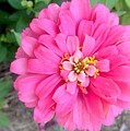 Pink Zinnia by Virginia Artho