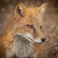 Russian Red Fox by David Pine